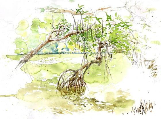 Mangrove - Martinique
